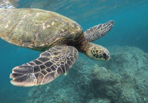 Honu Hawaiian Green Sea Turtle Kauai Hawaii Photo by Jeremy Bishop on Unsplash @tentides