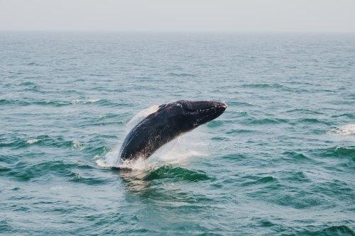 Humpback Whale Breaching Photo by Amy Humphries on Unsplash @amyjoyhumphries